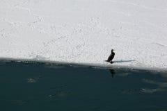 Sobrevivência do grande cormorant Fotografia de Stock
