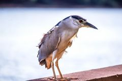 Socó-dorminhoco. In Brazil Socó-dorminhoco is a pelecaniform bird of the ardeidae family.   on the banks of the river tietê he stands on the wall stock photography
