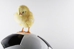 Soccer. Chicken and ball Royalty Free Stock Photography