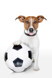 Soccer dog. Dog with a white soccer ball sticking out the tongue stock photo