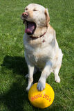 Soccer for dogs. At the World Cup in Brazil we also think our puppies Royalty Free Stock Photography