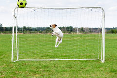 Soccer keeper in nice jump catching ball at goal. Funny terrier dog playing football stock photos