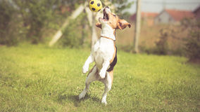 Soccer player Beagle dog Stock Photo