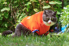 Soccer. Random image of a fat cat dressed as soccer player for the dutch national team relaxing in the garden in spring in the Netherlands royalty free stock photos