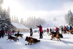 Soccorritori di servizio di salvataggio della montagna con i cani di salvataggio Immagini Stock