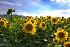 Słońce kwiat Zdjęcia Royalty Free