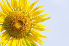 Słońce kwiat z pszczołą pod ranku światłem Fotografia Royalty Free