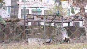 Sochi, marzo de 2018 arboretum Pavo real hermoso del baile pajarera con los pavos reales en la estaci?n de p?jaros de acoplamient almacen de video