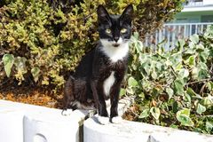 Black-and-white shorthaired cat with yellow eyes sitting on a bed with plants. Sochi, Russia-October 11, 2016: black-and-white shorthaired cat with yellow eyes Royalty Free Stock Images