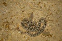 Sochurek`s Saw-scaled Viper, Echis Carinatus Sochureki Desert National Park. Rajasthan, India royalty free stock image