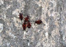 Société des scarabées rouges et noirs sur le mur Photos libres de droits