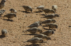 Sociable (social) weavers pecking in the sand. Sociable weavers are found throughout Namibia. They are sometimes called social weavers. They live in large nests stock photos