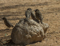 Sociable (social) weavers sitting on rock Royalty Free Stock Photos