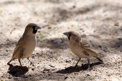 Sociable Weaver Bird at Kgalagadi Stock Photography
