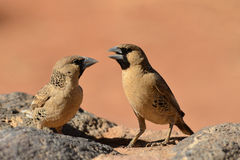 Sociable weaver bird,Namibia,Africa Stock Photos