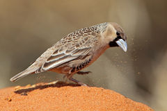 Sociable weaver kicking up dirt looking for seeds Stock Photos