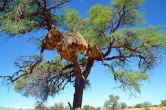 Sociable Weaver nest Royalty Free Stock Photography