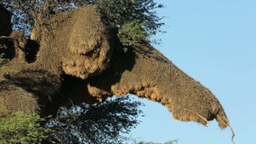 Sociable weaver nest. Massive communal nest of sociable weavers (Philetairus socius) in a tree, Kalahari, South Africa stock video