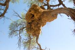 Sociable weaver nest stock photos