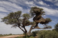 Sociable Weaver Nests. A Kalahari thorn tree full of sociable weaver nests. Philetairus socius Stock Images