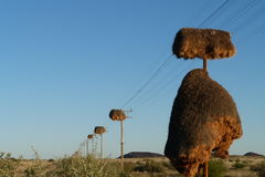 Sociable weaver nests. The sociable weavers  make  communal nests Stock Photos