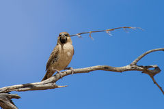 Sociable weaver sitting on a dry branch with a piece of grass Royalty Free Stock Photography