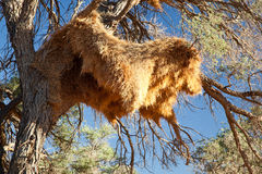 Sociable weavers big nest. Namibia. Africa. Royalty Free Stock Photos