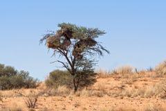 Sociable Weavers nest Stock Photo