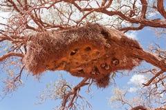 Sociable Weavers nest Royalty Free Stock Image
