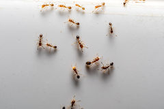 Social Ants. In macro Photography stock images