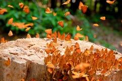 Social de la mariposa Foto de archivo libre de regalías