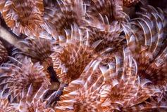 Social feather duster, Bispira brunnea Stock Photo