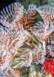 Social feather duster, Bispira brunnea Stock Images