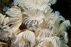 Social Feather-Duster Worms Stock Photos