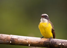 The Social Flycatcher Royalty Free Stock Photos