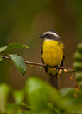 Social Flycatcher Royalty Free Stock Image