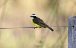 Social flycatcher, Myiozetetes similis Stock Photography