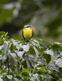 Social Flycatcher, Myiozetetes similis Royalty Free Stock Photo