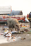 Social Issues, Pig searching for food in garbage. Stock Image