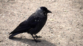 Social jackdaw with white feathers. Stock Image