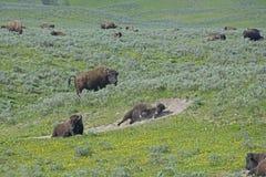 The social life of the Buffalo herd. Stock Photos