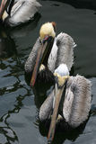 Social Pelicans Stock Photography