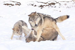 Social play of timber wolves. In snow royalty free stock images