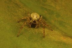 Social spider of the genus Stegodyphus which live in a colony. These are the only known social spiders Royalty Free Stock Photo
