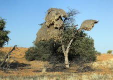 Social weaver birds. Nest in a tree in the Kgalagadi Transfrontier National Park in South Africa and Botswana Royalty Free Stock Photography