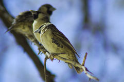 Social weaver birds. Social weavers in Etosha, Namibie Royalty Free Stock Photos