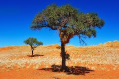 Social Weaver nest on a tree (Namibia) Royalty Free Stock Image