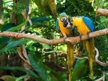 sociala macaws Royaltyfri Bild