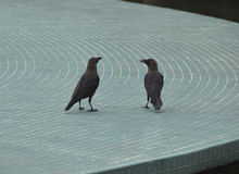 Socialising: Ravens chatting. Freely outdoor Stock Photos
