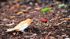 Society Finch bird walking in red wood chips Stock Image